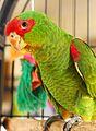 Amazona pretrei -bird cage-8c-1c.jpg
