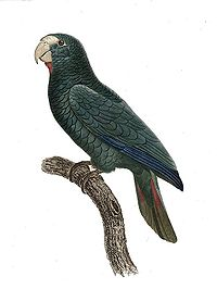 Amazona ventralis - Barraband