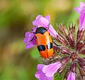 Ameisensackkäfer (Clytra laeviuscula).jpg