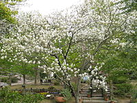 Amelanchier asiatica5
