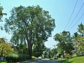 American Elm, Western Massachusetts - September 2016.jpg