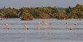 American Flamingo (Phoenicopterus ruber) (5179965426) (2).jpg