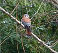 American Kestrel. Falco sparverius sparveroides - Flickr - gailhampshire (1).jpg