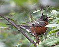 American Robin 6 (4688328307).jpg