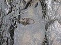 American bullfrog Little White R 2.jpg