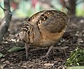 American woodcock in Bryant Park (92833).jpg