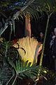 Amorphophallus Flower 0155a.jpg