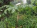 Amorphophallus paeoniifolius (Philippines) 2.jpg