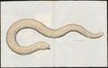 Amphisbaena alba - 1700-1880 - Print - Iconographia Zoologica - Special Collections University of Amsterdam - UBA01 IZ12300133.tif