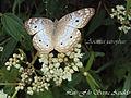 Anartia jatrophae lepidoptero.jpg