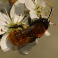 Andrena fulva0023.jpg