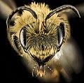 Andrena nivalis, M, Face, MI, Alger Co 2014-03-27-13.09.39 ZS PMax (21867806359).jpg