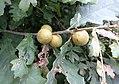Andricus kollari (Oak Marble), Sampford Courtenay, South Devon - young specimens.jpg