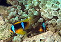 Anemone fish at Fanous East Reef, Red Sea, Egypt -SCUBA -UNDERWATER -PICTURES (6522128735).jpg