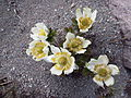 Anemone occidentalis Mount Shasta 2014-06-26 3 PD.jpg