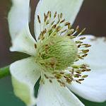 Anemone virginiana 3019.jpg