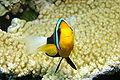 Anemonefish Closeup.JPG