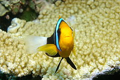 Anemonefish Closeup.JPG