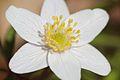 Anemones - kvitveis - hvitveis - 9.JPG