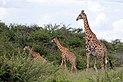 Angolan giraffe (Giraffa camelopardalis angolensis) with juveniles.jpg