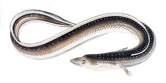 Eel - Anguilla japonica