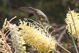 Anna's Hummingbird in San Francisco.jpg