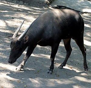 Anoa - Lowland anoa (B. desdrepassicornis) at the Surabaya Zoo, Surabaya, East Java, Indonesia