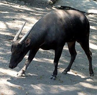 Anoa - Lowland anoa (B. depressicornis) at the Surabaya Zoo, Surabaya, East Java, Indonesia