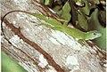 Anolis cuvieri (Giant Anole, Lagarto Verde o Chipojo).jpg