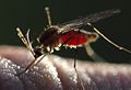 Anopheles mosquito engorged with human blood.jpg
