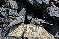 Anous stolidus galapagensis, isla Santa Cruz, islas Galápagos, Ecuador, 2015-07-26, DD 41.jpg