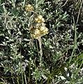 Antennaria umbrinella 1.jpg