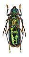 Aphrodisium tricoloripes - ZooKeys-275-067-g001-5b.jpeg