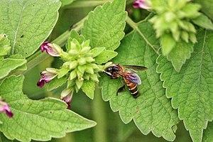 Apis dorsata Honeybee.jpg