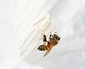 Apis mellifera (honeybee) on Datura III (3917212436).jpg