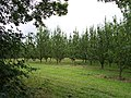 Apple Orchard, Upper Townend Farm - geograph.org.uk - 34103.jpg