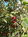 Apple tree, 2018 Karcag.jpg