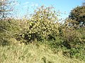 Apple tree in the wilds at Portsdown Hill - geograph.org.uk - 1011567.jpg