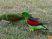 Two green parrots, one with red and black wings and one with red and green
