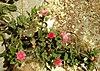 Aptenia cordifolia - Απτένια, Μπούζι 02.jpg