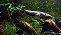 Apteronotus albifrons Aquarium tropical du Palais de la Porte Dorée 10 04 2016 2.jpg