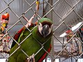 Ara severus -World Parrot Refuge Center-8a.jpg