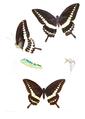 Araminta liomedon 461.png