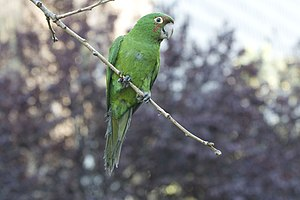 Red-masked parakeet - Juvenile starting to get a few red feathers on its head.