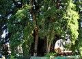 ArbordeTuleOaxaca MX.jpg