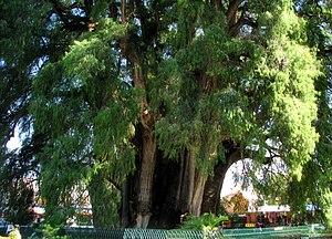 árbol Del Tule Wikipedia