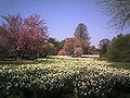 Arboretum Ellerhoop - Dichter-Narzissenwiese 2.jpg