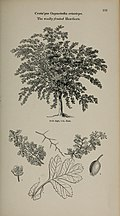 Arboretum et fruticetum britannicum, or - The trees and shrubs of Britain, native and foreign, hardy and half-hardy, pictorially and botanically delineated, and scientifically and popularly described (14781605214).jpg