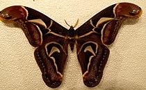 Archaeoattacus edwardsii m.jpg