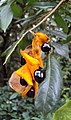 Archidendron bigeminum 10.JPG